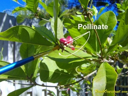 Hand pollinate miracle fruit flowers on a regular basis to ensure steady production