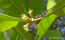 Miracle fruit flowers do not seem to open until about 1-2 weeks afer pollination when they are drying up.