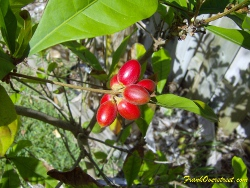a cluster of miracle fruit (Synsepalum dulcificum) that are ripe and ready to be eaten.